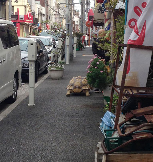 elderly-man-walking-pet-african-spurred-tortoise-sulcata-tokyo-japan-3