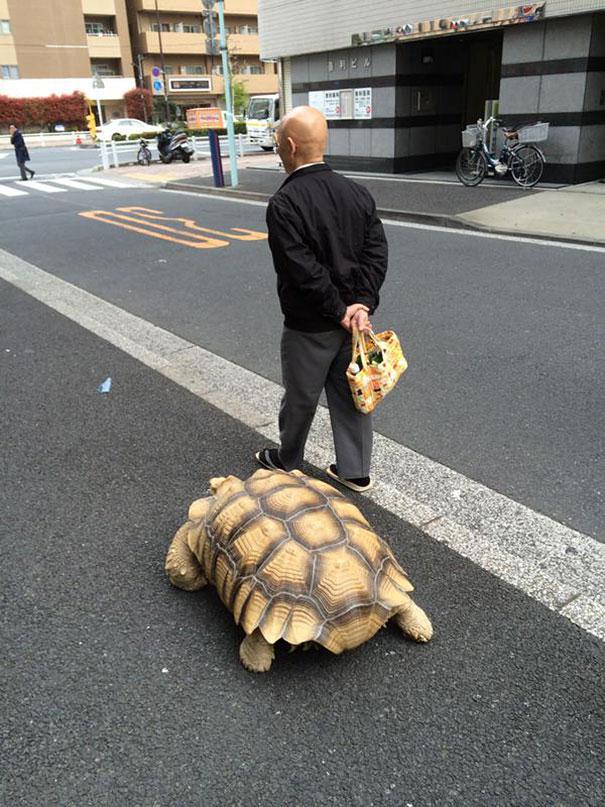 elderly-man-walking-pet-african-spurred-tortoise-sulcata-tokyo-japan-4
